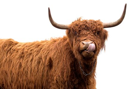 scottish long-haired cow isolated