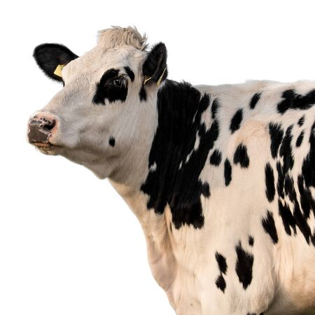 Cow on a white background isolated. Standard-Bild