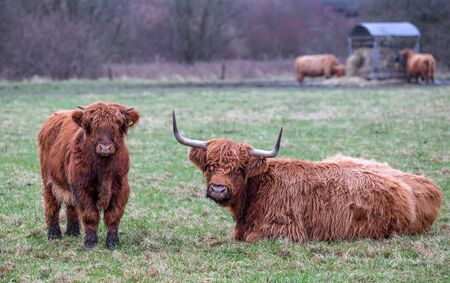 scottish long-haired cow with calf