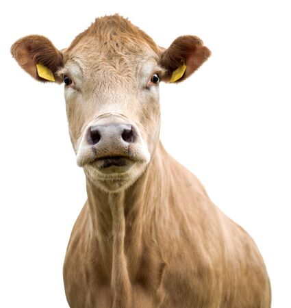 Cow on a white background isolated