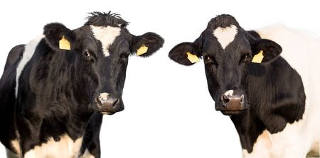 Two cows on a white background isolated Standard-Bild