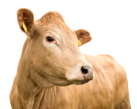 Cow Portrait Isolated on White Background