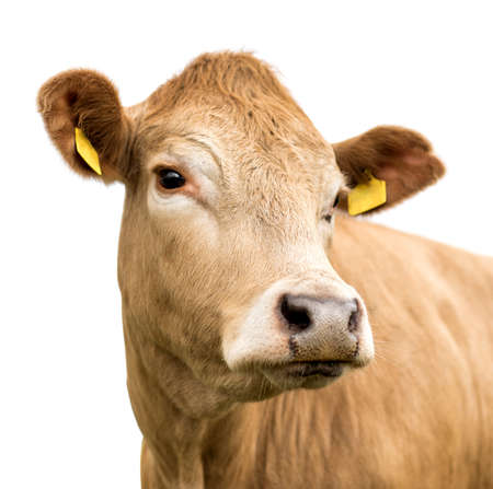 Young cow isolated on white 版權商用圖片