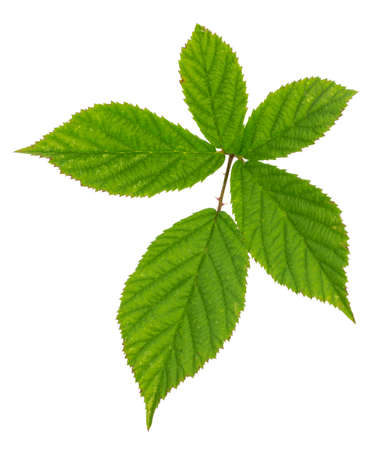 Raspberry leaves isolated on white background 版權商用圖片