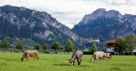 beautiful natural landscape of a cows in a meadow in bavaria 版權商用圖片