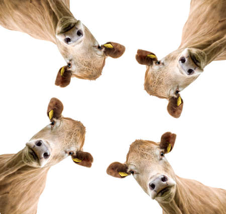 Cows on white background isolated 版權商用圖片