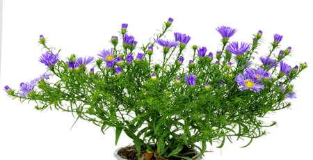 aster flower on white background 版權商用圖片