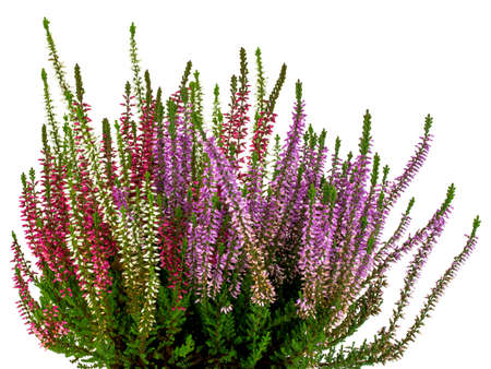 multicolored heather on white background