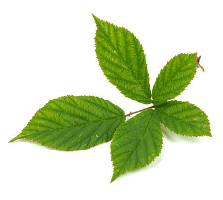 blackberry leaf on white background 版權商用圖片