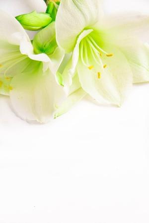 lirio blanco: Isolated blanco lirio Foto de archivo