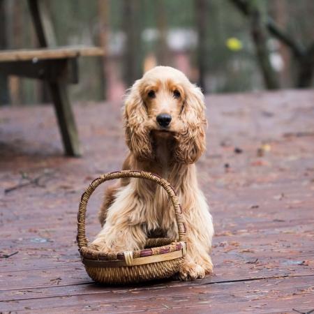 cocker spaniel: Funny, cute dog with long ears, a Golden Cocker Spaniel, walking outdoor
