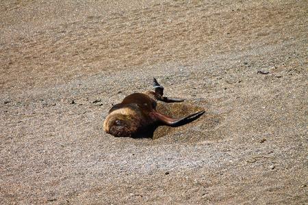 Sea-dog sleeping