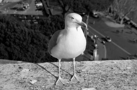 Seagull on the boundary wall of Castel Sant'Angelo in Rome. Panorama over the city. Black and white photo