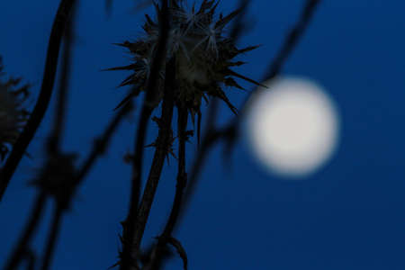Backlight of thorny flowers in the glow of the moon. 写真素材