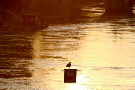 Seagull resting on a thread hanging along the bed of the Tiber river in Rome, in the background the colors of the sunset. Archivio Fotografico
