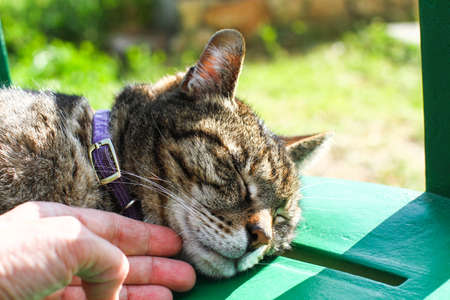 Close-up of the muzzle of a brindle kitten that purrs, purple collar and hand in the foreground that caresses it.