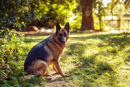 Beautiful dog german shepherd sitting in the sunny summer garden, nature background, animal concept.