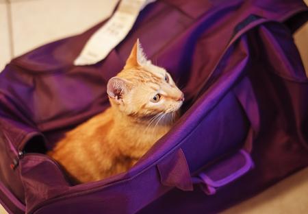 Cute rad cat in the violet bag wants to travel. Love for animals. Pet transportation. Reklamní fotografie