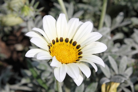 Beautiful camomile one costing on a background of other flowers