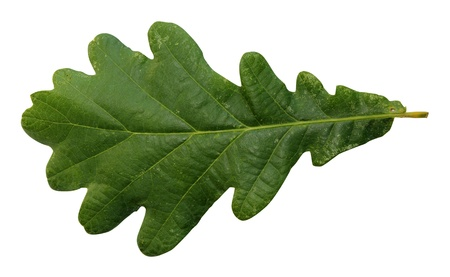 tree oak, green leaves  isolated on white background Stock Photo