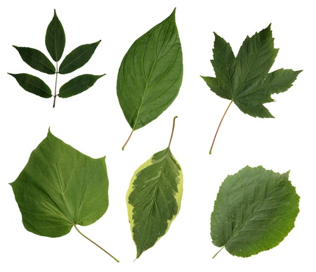 All sorts of green leaves from trees and shrubs isolated on white background Stock Photo - 10472596