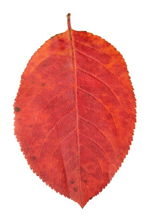 red leaf  in fall season isolated on white background photo