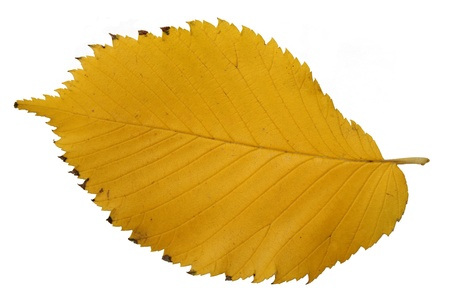 autumn yellow leaves, in fall season isolated on white background photo