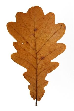 tree oak,yellow leaves isolated on white background photo