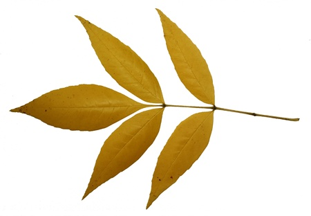 autumn yellow leaves isolated on white background photo