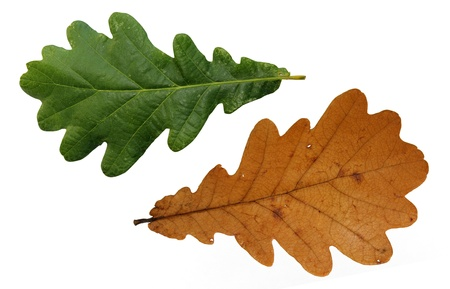 two,tree oak green and yellow leaves  isolated on white background