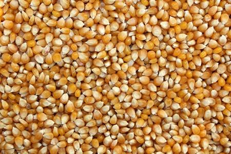 Raw corn grains yellow, hard
