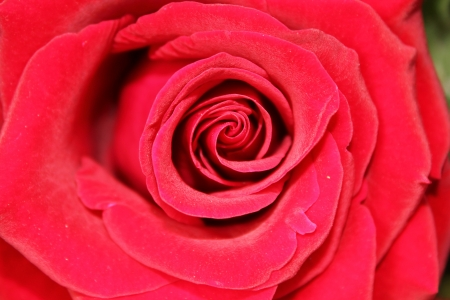 Rose of red color in a close up