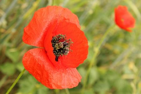 flower poppy on a green background