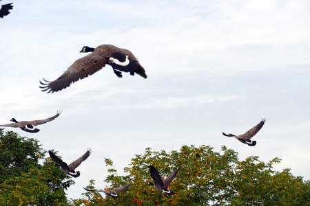 A group of ducks is flying in the sky in the autumn
