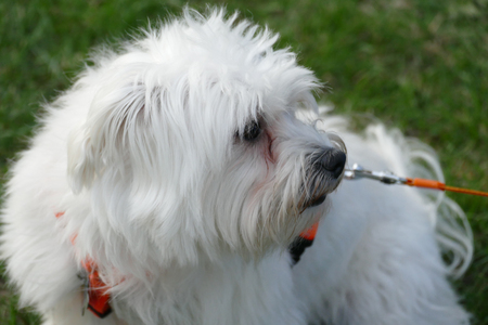Close-up of the Maltese dog's face 写真素材