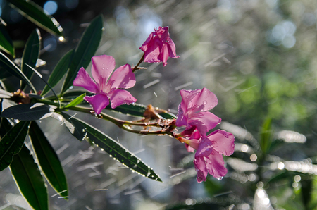 An attractive evergreen shrub for warm climates, oleander produces heavily scented, colorful flowers all summer and fall.