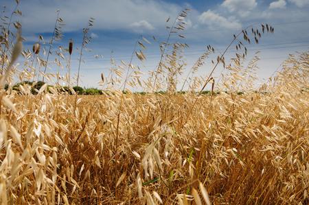 wild oats: Wild oats