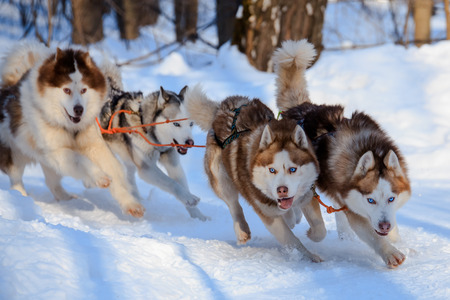 Husky dogs are pulling sledge  at sunny winter forest in Moscow, Russia.