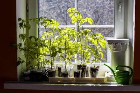 sprouts of tomato and pepper stand on the window sill in the sunshine