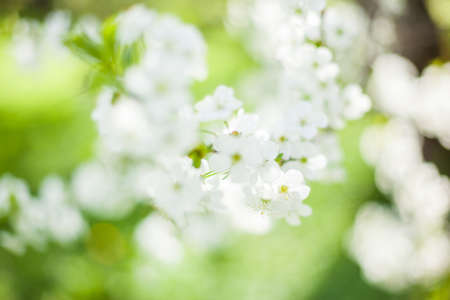 Springtime begining in the garden. The branches of a blossoming tree in spring day in the wind. Cherry tree in white flowers. Beautiful blurring background. selective focus.