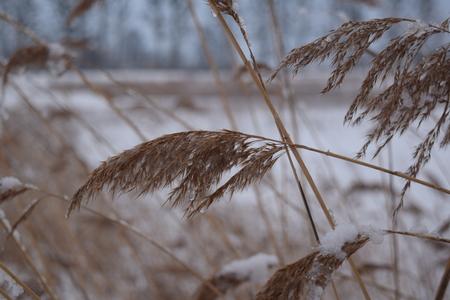 feld: Dry winter grass in snow