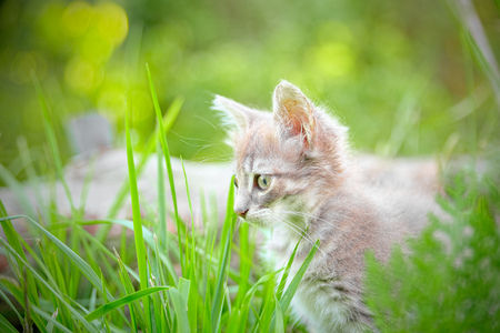 grass: Kitten hiding in the grass looking intently prey