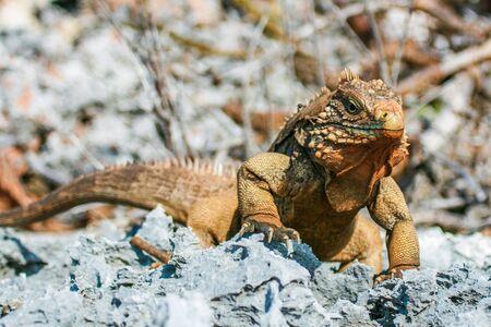closeup of an iguana on the reefs of the Cuban coast reserve