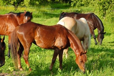 pascolo dei cavalli
