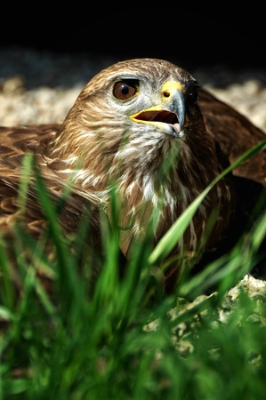 hawk is heated to the ground  Stock Photo
