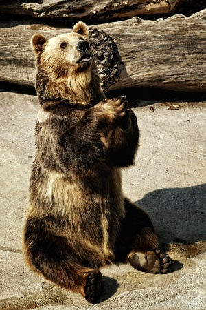 mendicant brown bear in the zoo garden