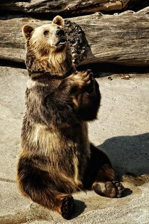 mendicante orso bruno nel giardino zoologico