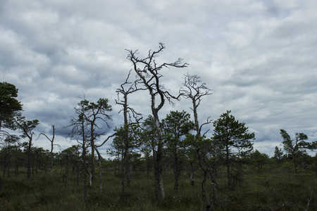 sickly: Dark sickly trees growing on the swamp