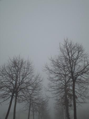 nebbia: due file di alberi in un giorno di nebbia Stock Photo