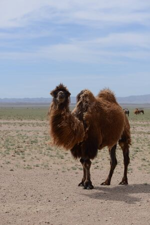 camel in the desert Фото со стока